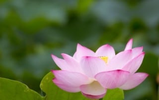 kwiat lotosu w rozkwicie